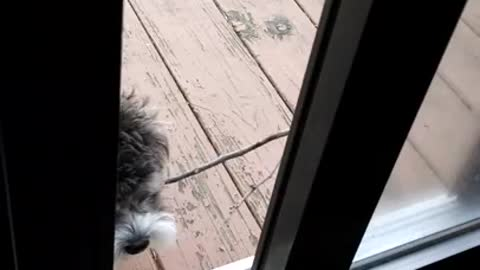 Puppy struggles to fit stick through door