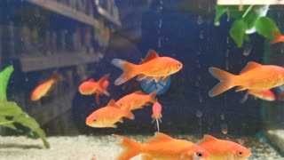 Small gold fish