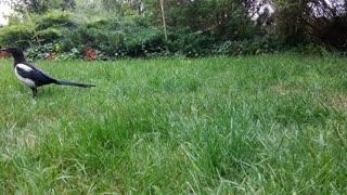 Bird Birds Grass Raven Animal Garden Wings Black