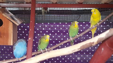 Parrots Love Birds Making Love
