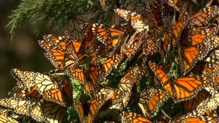 Butterflies in massive group