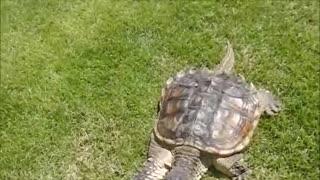 Snipper turtle