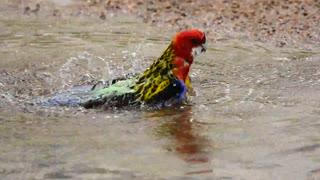 bird taking bath