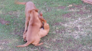 dogs playing with each other 🔥 4K 🔥