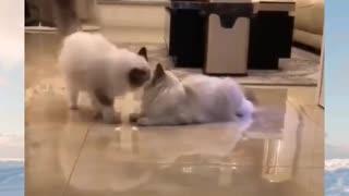 Funny cat kiss 💋 her Boyfriend.