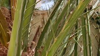 palm-dates-Dates seeds