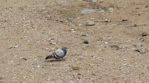 The dove walks on the ground and enjoys.