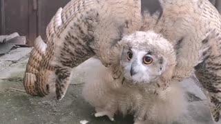 Incredibile transforming owl