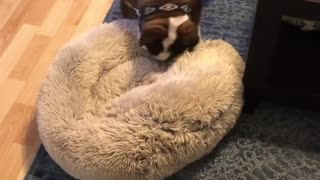 English Bulldog goes to great lengths to make bed comfy