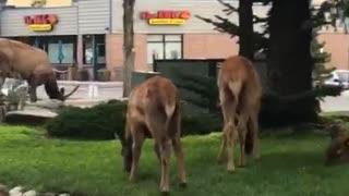 Young Elk in Estes Park Colorado