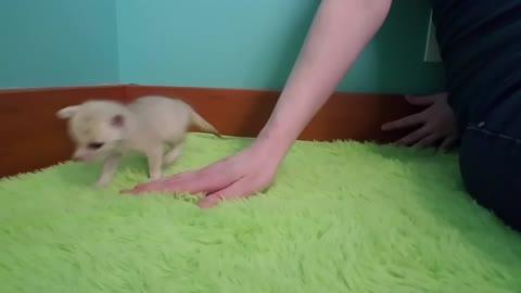 Playful Fennec