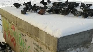 Pigeons feed in winter weather.