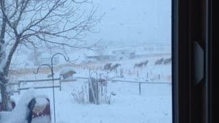 Beautiful Herd of Elk