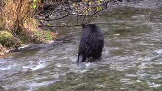 bear hunting salmon in the river
