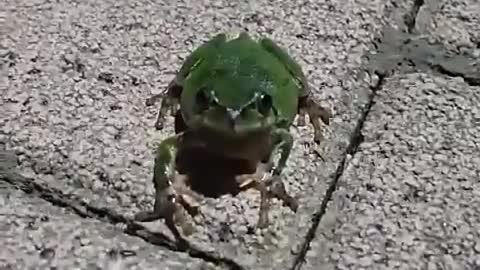 Tree frog staring at you