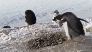 Frozen Planet: Criminal Penguins