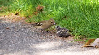 birds feed their young