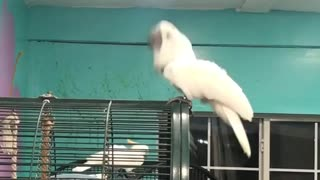 Dancing cockatoo breaks it down for the camera