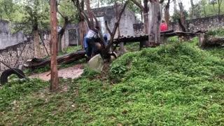 New Footage Of Million Dollar Panda Stuck In Tree