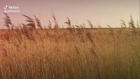 Reeds dancing in the wind