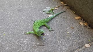 Little Lizard Corners a Cat