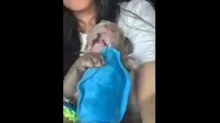 Cutest little blue nose pitbull puppy-teething! Fun times fun times