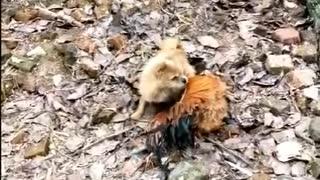 Funny Dog vs Chicken fighting