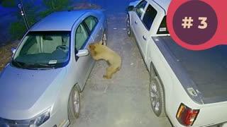 TOP 5 Bear Caught on Video - RING DOORBELL