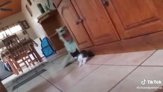 Tiger against a cat