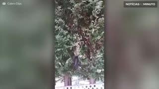 Cobra pendurada em árvore captura gambá enorme