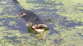 Alligator swallows a fish