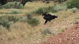 Gigantic Eagle eating a Kangroo on the Road