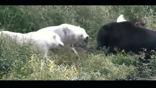 top showdown between wolf and bear