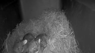 Baby Bunnies in the Nest