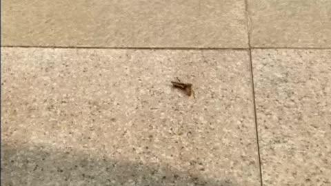 Killer bee kills and eats grasshopper