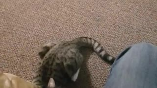Cat slaps black dog then runs away and gets chased by black dog