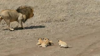 Lion is walking with his children must watch it.