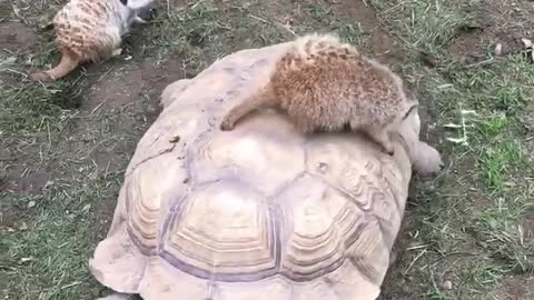 Meerkat and turtle chilling