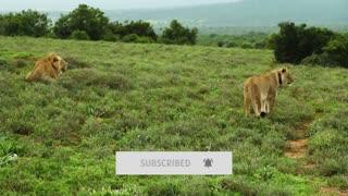 Closest lion videos caught on camera 2021