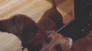 Confused Dachshund wants to play with his mirror reflection