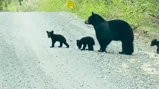Black Bear Crosses Road With Her Cubs