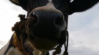 Angry cow Angry cow
