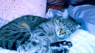 BH my afghan cat