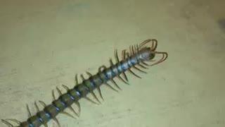 Desert Centipede