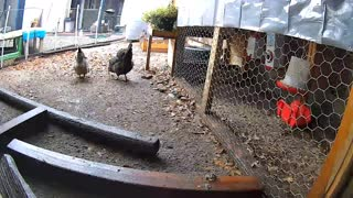 Rainy Weather VS Chickens Time Lapse