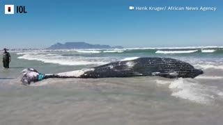 Washed up whale removed from Cape Town beach