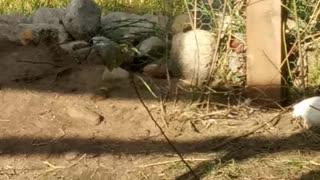 Cotournix quail trash can Pete