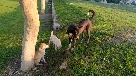 See when an Australian puppy is playing with its siblings