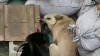 Dog vs chicken fight _ Funny