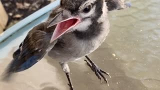 Helping a Hungry Baby Blue Jay
